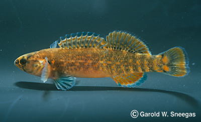 Etheostoma - a gallery on Flickr