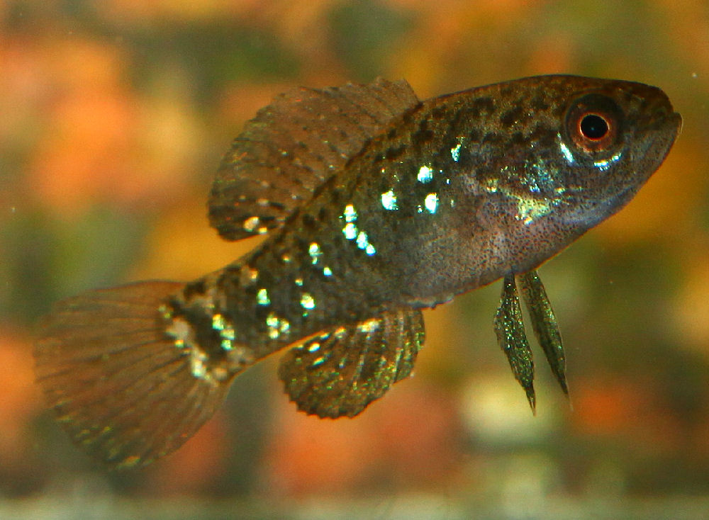 Eevergladei in focus for Spring water for fish tank